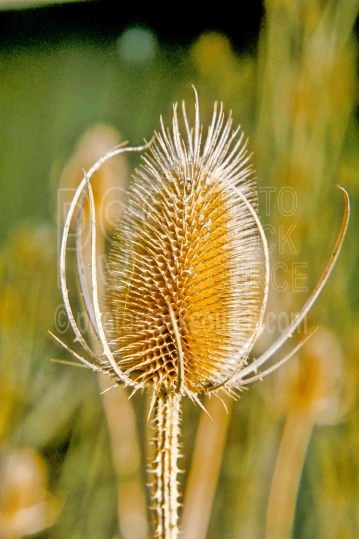 Thistle Head,thistle,fall,autumn,season,usas,plants