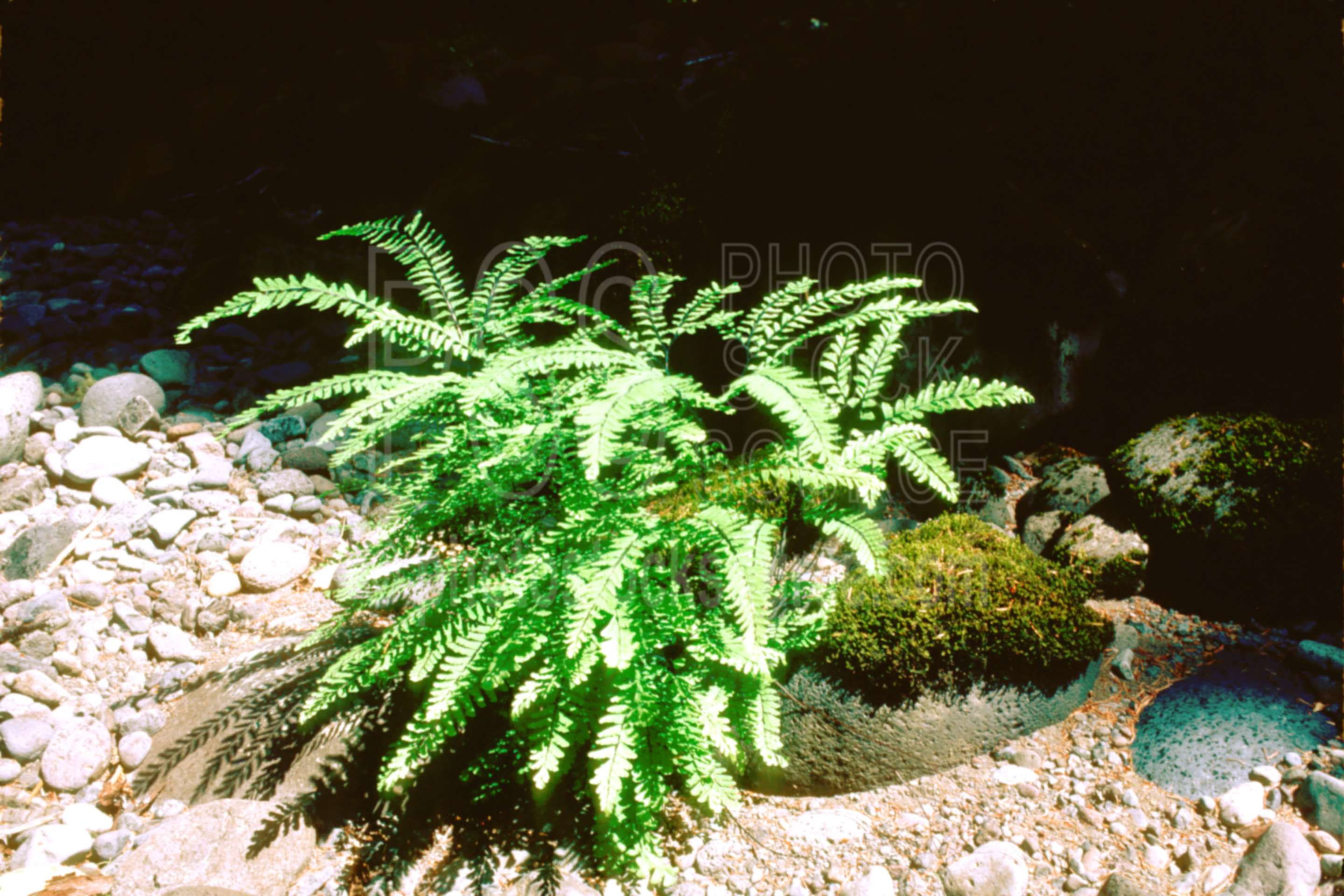 Maiden Hair Fern,fern,usas,plants