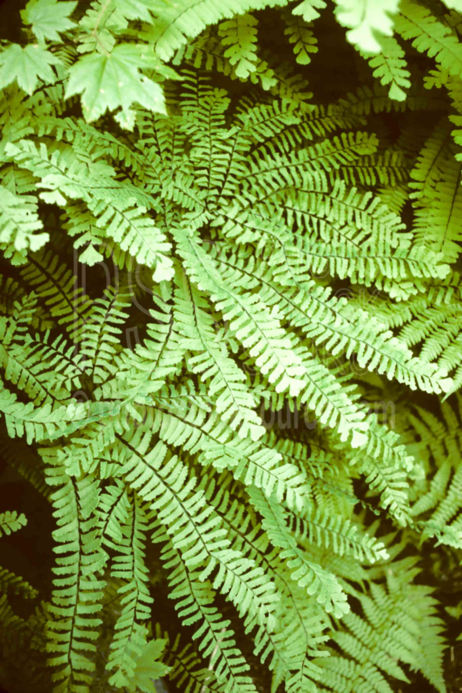 Angel Hair Fern,large view,large image view,large photo view,enlarged view,zoom in,high resolution,detail,big,large,full view,Angel hair fern,Oregon,USA,plant,fern,usas,plants