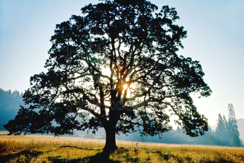 Oak Tree,morning,oaks,sunrise,usas,plants