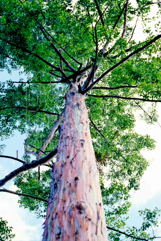 Eucalyptus Tree,tree,eucalyptus,bark,plants