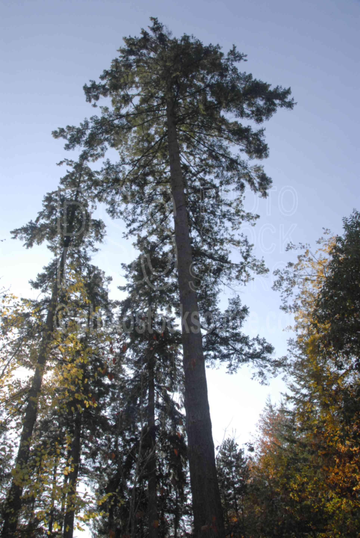 Photo Of Douglas Fir Tree By Photo Stock Source Tree