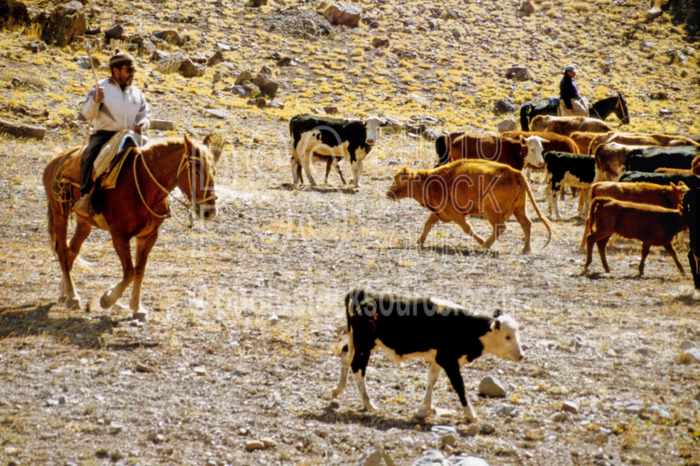 Herding Cows in the Andes,horse,gaucho,cowboy,cows,herd,herding,cowboys
