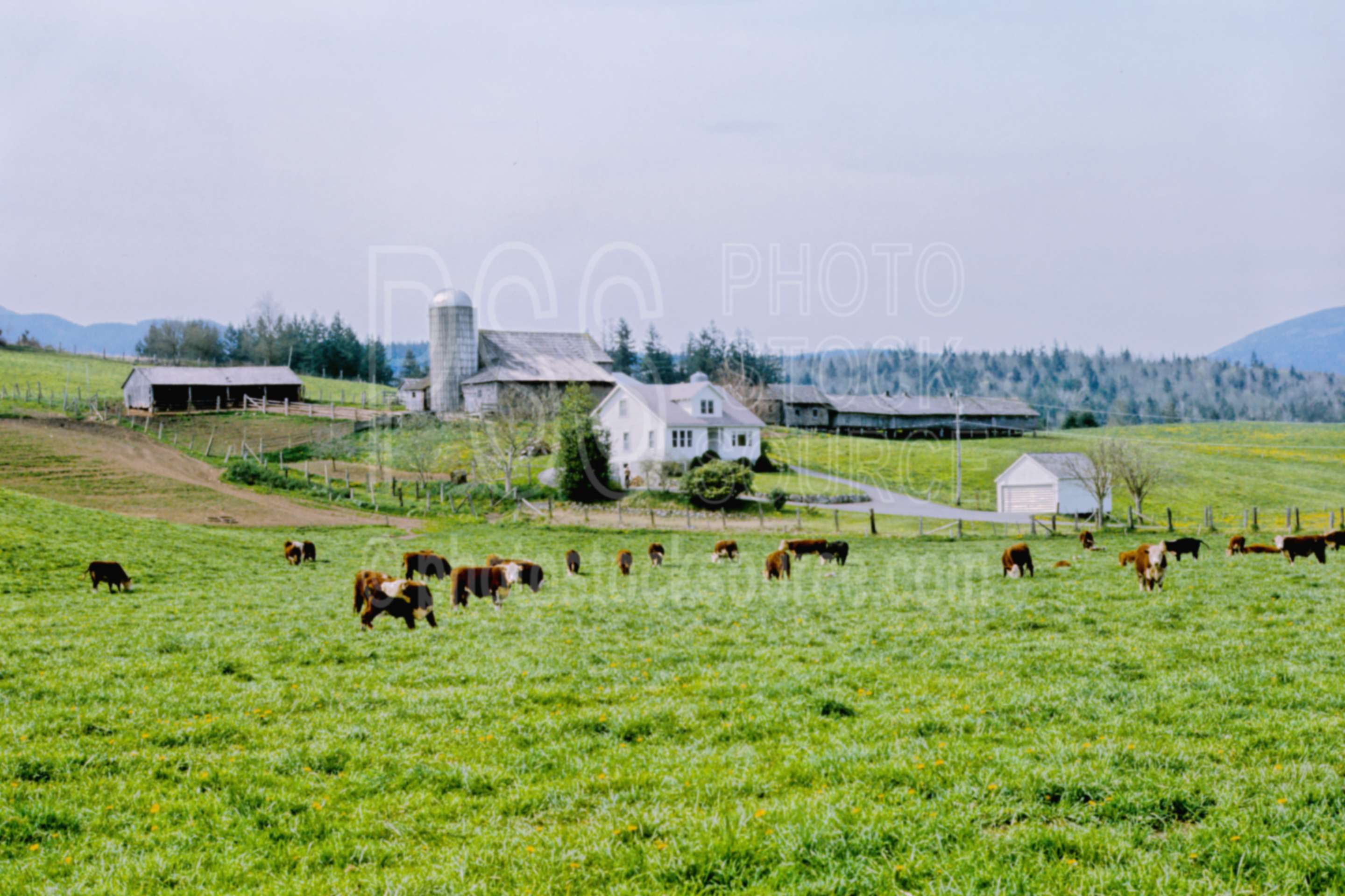 Dairy Farm,barn,cows,farm,field,house,silo,usas,barns,nature