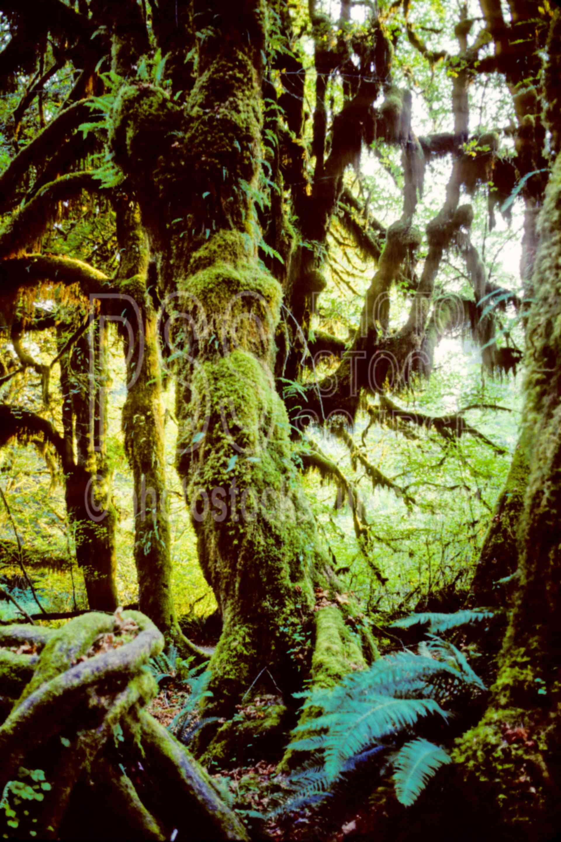 Rain Forest,forest,hoh river,usas,forests,lakes rivers,nature