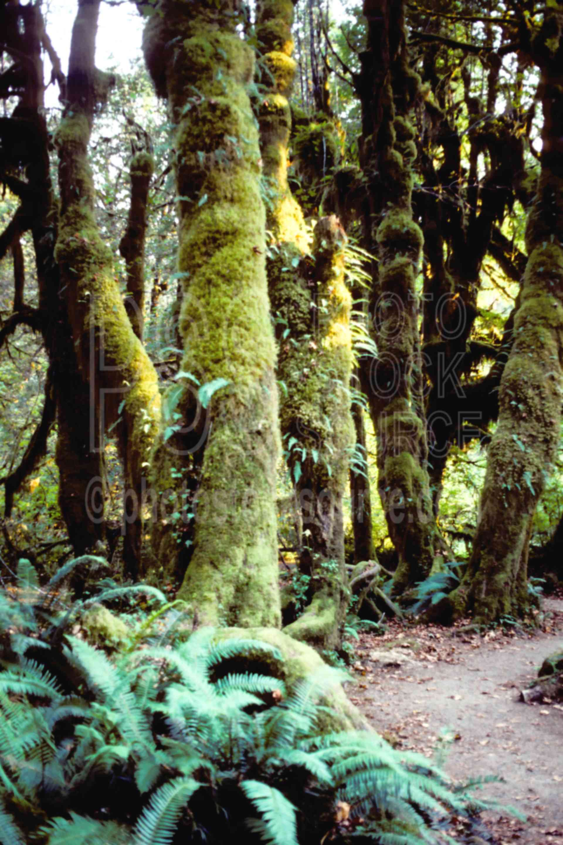 Rain Forest,hoh river,usas,forests,lakes rivers,nature